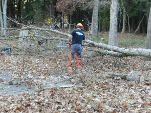 Felling oak trees